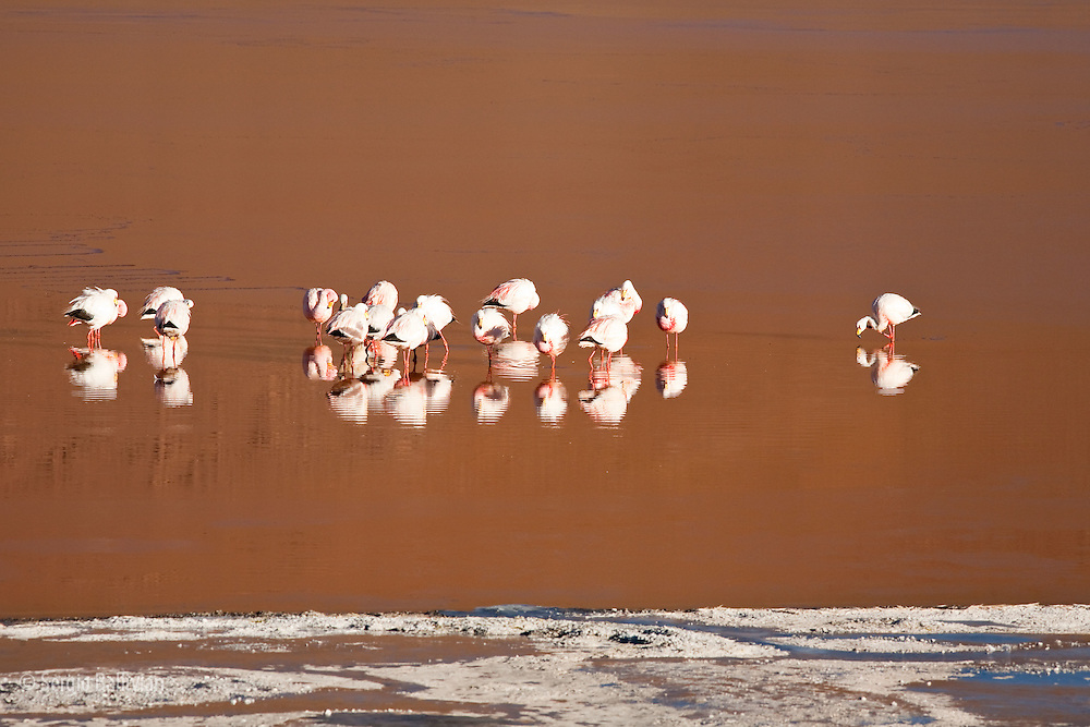 A small flock of pink Andean flamingos feed on micro-organisms in the high-altitude Laguna Colorada in the Sud Lipez region of southwestern Bolivia.  A region that averages 14,000 ft above sea level deep in the Andes mountains.