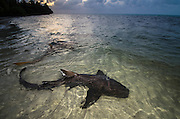 Nurse Shark (Ginglymostoma cirratum)<br /> Marine Megafauna Research. Large marine fish, sharks, rays &amp; turtles.<br /> MAR Alliance<br /> Halfmoon Caye<br /> Lighthouse Reef Atoll<br /> Belize<br /> Central America