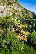 Cactus garden along the Via dell'Amore (The Way of Love), Riomaggiore, Cinque Terre, Liguria, Italy