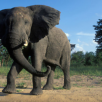 Botswana, Chobe National Park, Aggressive Bull Elephant (Loxodonta africana) at jungle's edge