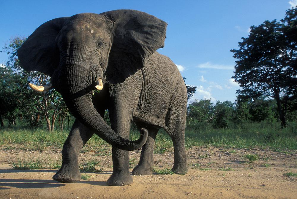 Botswana, Chobe National Park, Aggressive Bull Elephant (Loxodonta africana) at jungle's edge