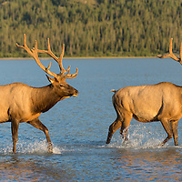 bull elk in river lake