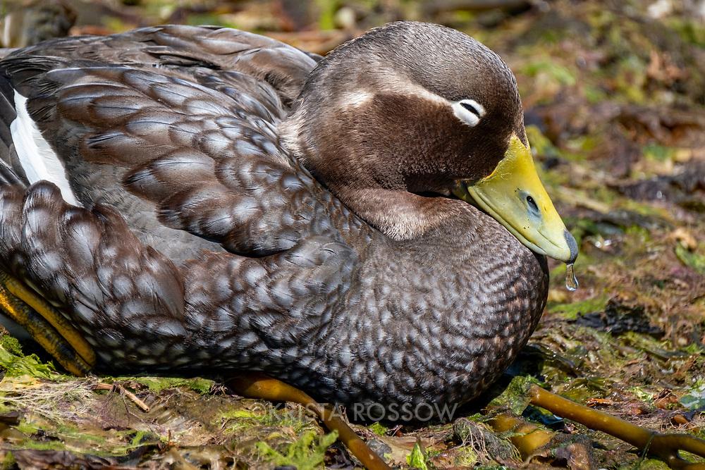 Falkland steamer duck (Tachyeres brachypterus) on a seaweed-covered beach in Stanley, East Falkland Island, Falkland Islands.