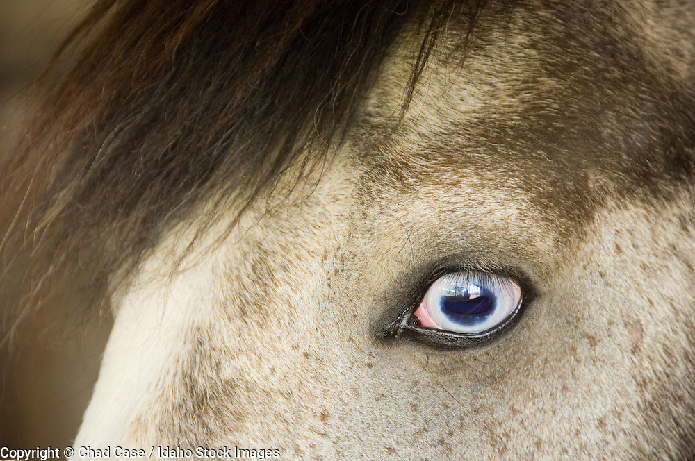 Payette Idaho horse with blue eye.