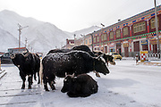 Yaks huddle in the center of the main street of Zado, Tibet (Qinghai, China).