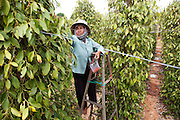 Nau Aem, 52 years old, picks corns from the higher branches.