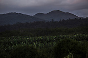 A banana plantation stands in the middle of a swath of Atlantic rainforest on the road to the Ivaporunduva quilombo (former runaway slave communal land) in Eldorado, south of Sao Paulo, Brazil, Monday, Nov. 26, 2018. (Dado Galdieri)