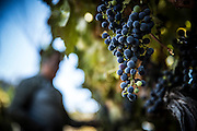 Thursday, September 1, 2016<br /> Harvesting Cabernet grapes in Sonora, California.