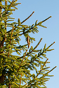 Close up of a pine tree with pinecones on a blue sky background. Photographed in Stubaital, Tyrol, Austria