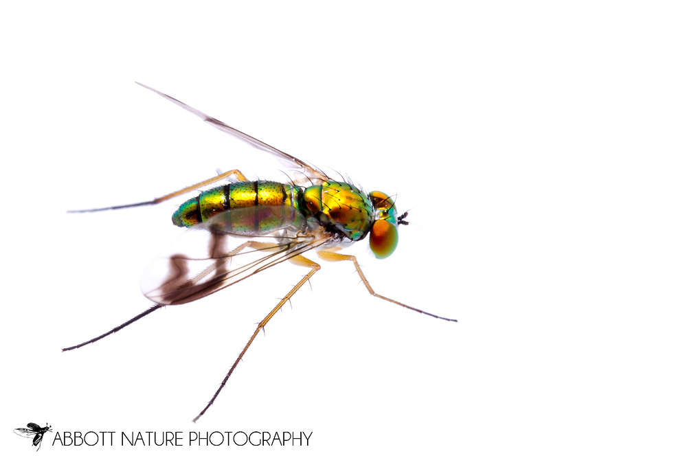 Longlegged Fly (Condylostylus sipho group) female<br /> TEXAS: Jasper Co.<br /> Brookeland/Lake Sam Rayburn KOA @ 505 Co Rd 212<br /> 9.June.2015<br /> J.C. Abbott #2739 &amp; K.K. Abbott