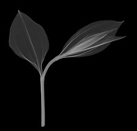 X-ray image of a Korean fairy bells bud and leaves (Disporum uniflorum, white on black) by Jim Wehtje, specialist in x-ray art and design images.