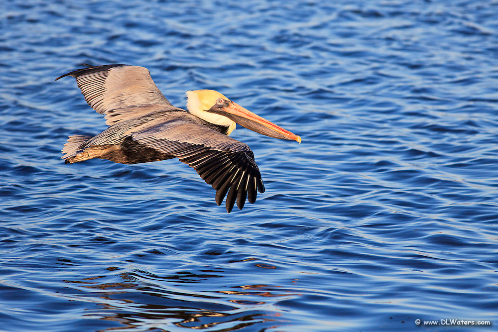 A brown pelican in winter plumage in flight, photographed at Wanchese <br />