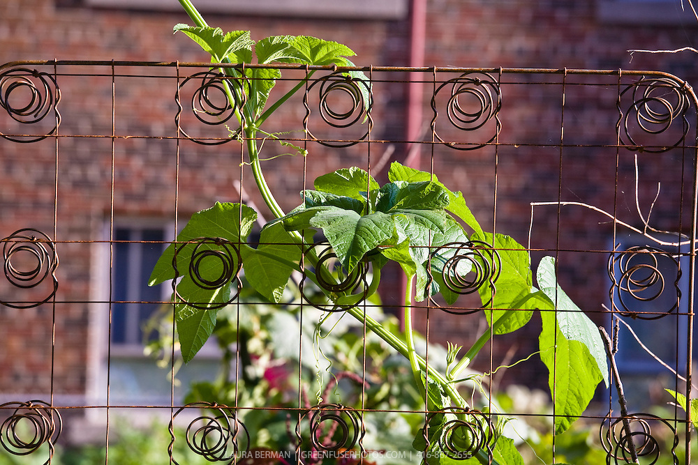 A zucchini vine growing on a trellis of bedsprings.