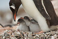 Family portrait of Gentoo Penguins (Pygoscelis papua) on the nest. Neko Harbor, Andvord Bay.