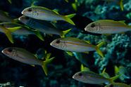 Mulloidichthys vanicolensis (Yellowfin goatfish)