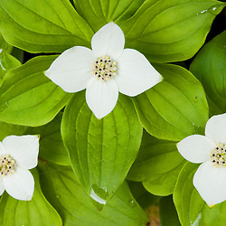A bunchberry in bloom, Cornus canadensis, on Monadnock Mountain in Lemington, Vermont.  Northeast Kingdom.