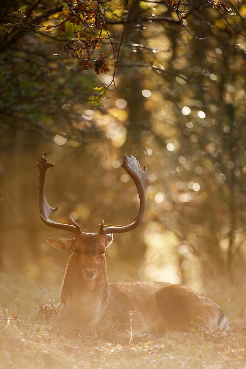 Resting fallow deer (dama dama) after the rut. Amsterdamse waterleidingduinen, The Netherlands. October 2012.