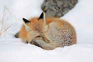 Red fox sleeping in winter habitat