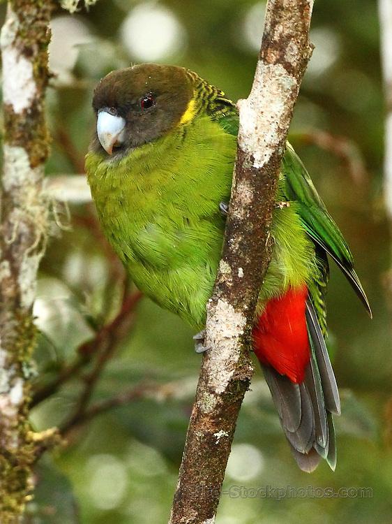 Brehm's Tiger Parrot, Psittacella brehmii, Papua New Guinea, by Markus Lilje