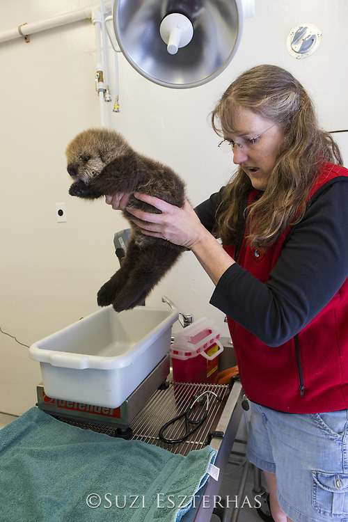 Sea Otter <br /> Enhydra lutris<br /> Dr. Carrie Goertz, Veterinarian, weighing three-week-old orphaned pup in rescue<br /> Alaska Sea Life Center, Seward, Alaska