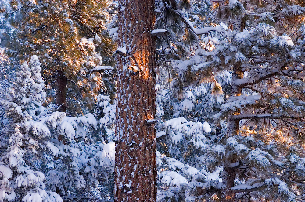 Ponderosa Pine trees in snow storm; Big Bear Lake, San Bernardino Mountains, California.