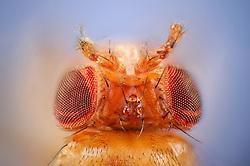 """[Digital focus stacking] Antennapedia mutant of the Fruit Fly (Drosophila melanogaster) with legs instead of antennae growing from the head. The mutation is used as a genetic marker. [focus stacking]   Eine genmanipulierte Taufliege (Drosophila melanogaster), die in Fliegen-Genetiker-Kreisen unter dem Namen """"Antennapedia"""" bekannt ist. Den Tieren dieses Stammes wachsen anstelle der normalerweise stummelartigen Antennen zwei Beine zwischen den Augen. Da die Manipulation am Embryo in Zellen vorgenommen wird, aus denen die Geschlechtszellen des erwachsenen Tieres hervorgehen, sind die hervorgerufenen Eigenschaften erblich. So entstehen ganze nachzüchtbare Stämme von gentechnisch veränderten Taufliegen."""