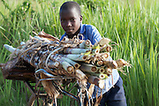 A yound boy pushing a bike with sugar cane on it.