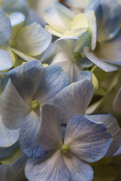 Macro floral image of a blue hydrangea.