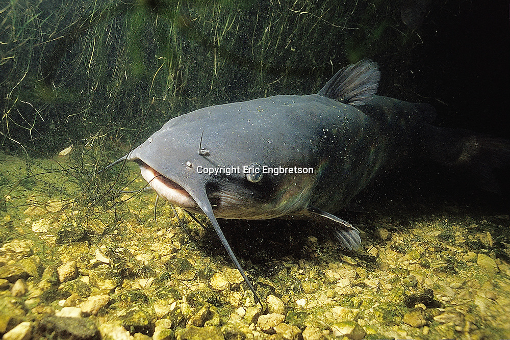 Channel Catfish Underwater