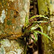 Shanshu grows on bamboo, Takanua, Ming Shen, Namasiya Township, Kaoshiung County, Taiwan