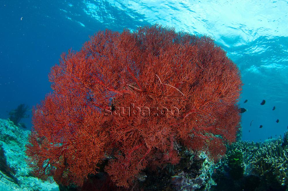 A large red sea fan on reef in clear blue waters, Sipadan, Sabah, Malaysia, Borneo.
