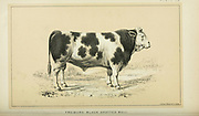 Spotted bull from Cattle and dairy farming. Published 1887 by Govt. Print. Off. in Washington. United States. Bureau of Foreign Commerce (1854-1903)