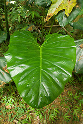 Hawaii: Molokai, Halawa Valley, green tropical leaf, seen during hike in past taro fields, ancient walls, to waterfalls, guided by Lawrence Aki..Photo himolo240-72437..Photo copyright Lee Foster, www.fostertravel.com, lee@fostertravel.com, 510-549-2202