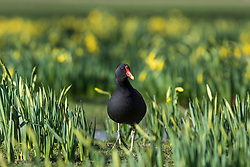 © Licensed to London News Pictures. 22/02/2018. London, UK. A moorhen among blooming yellow daffodils in St James's Park, London, an early sign of Spring. Photo credit: Rob Pinney/LNP