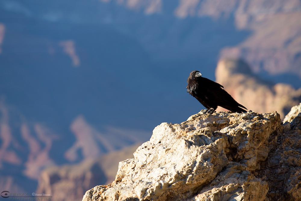 Raven perched on rock at Lipan Point, Grand Canyon National Park, Arizona, USA