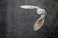 Barn owl (Tyto alba) in flight through heavy blizzard, Norfolk