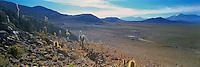 "Atacama "" Cardon "" Cactuses ( Echinopsis atacamensis ) , Cariquima , Chile"