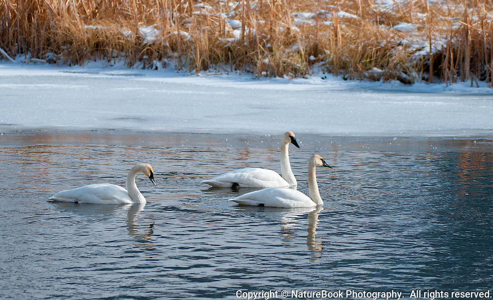Three beautiful Trumpeter Swans patrol the waters near the National Elk Refuge at Grand Teton National Park.