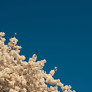 Cherry blossoms in full bloom against a clear blue sky, with copyspace.