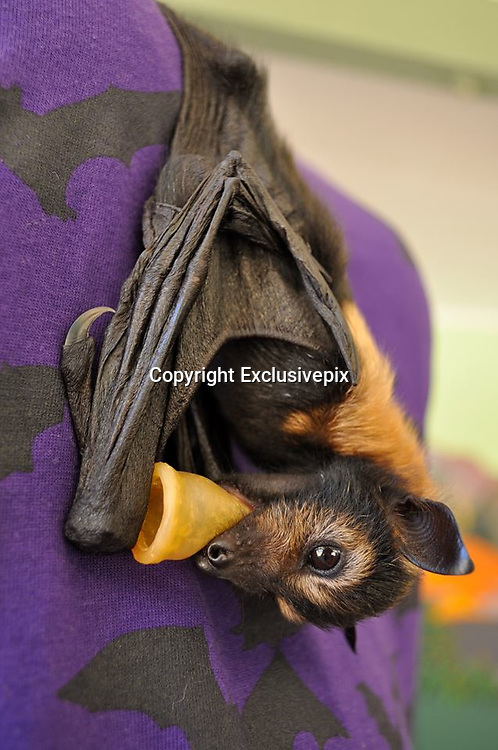 Inside Australia's BAT hospital - where adorable abandoned baby creatures are wrapped in blankets and fed with bottles<br /> <br /> We've gone batty for these cute pictures, which show tiny abandoned baby bats wrapped up in blankets, being fed from bottles.<br /> Swathed in spotted and striped blankets, the fruit bats are being cared for at the Tolga Bat Hospital in Atherton, Australia.<br /> About 300 bat pups are orphaned every year because their mother is ill and can't feed them or has died from tick paralysis.<br /> <br /> <br /> Normally we associate bats with being blood-thirsty, but all these cute critters want to drink is some bottled milk. <br /> These furry creatures are too injured to return to the wild and need to be nursed back to health. <br /> Pictured at the hospital, the black flying animals can be seen sucking on bottles, while they are swaddled in colourful blankets. <br /> <br /> <br /> The bats can also be seen bathing in the bathroom sink and even having their hair combed by workers at the hospital. <br /> The Tolga Bat Hospital is a community group working for the conservation of bats and their natural habitat.<br /> The volunteers care for bats who have come from hundreds of kilometres away in need for urgent care. And they also take in bats for sanctuary after they have been retired from zoos. <br /> <br /> <br /> Volunteers at the hospital spend their time caring for the bats, nursing them back to health and then release them back into the wild when they are ready.<br /> According to the Tolga Bat Hospital's website: 'caring for sick or young animals is like caring for sick or young humans, many tasks are very repetitive but your love and respect for the animals will make it very rewarding.'<br /> Tick paralysis is killing hundreds of flying foxes in Australia each year.<br /> <br /> During the 1990s, flying foxes were mysteriously dying on the Atherton Tableland. <br /> Researchers found that tick paralysis was the problem, prohibiting bat