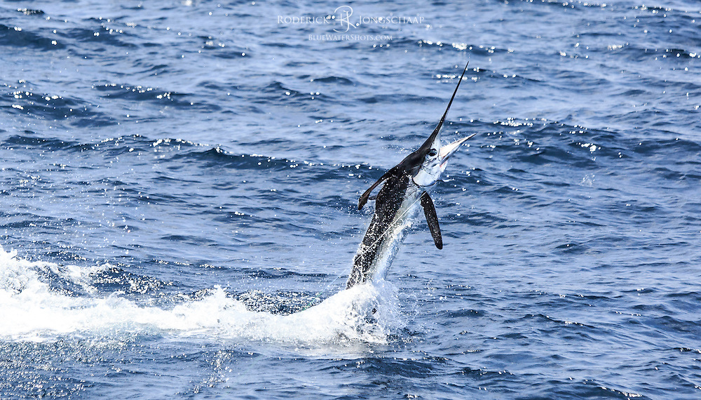 White Marlin in black tux tailwalking off Lobito, Angola