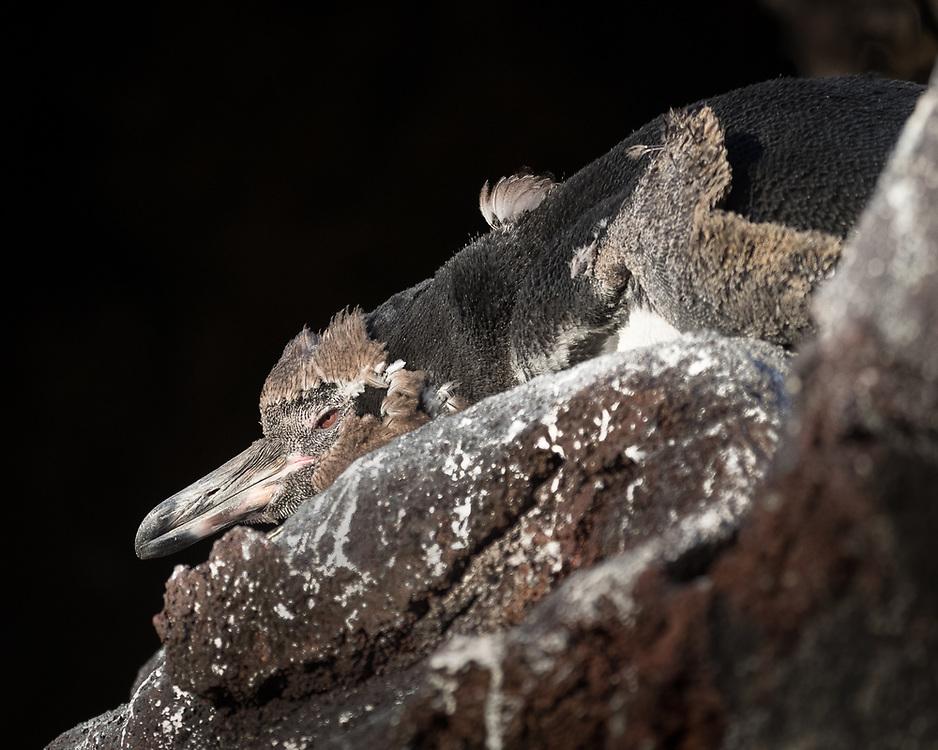 Spheniscus mendiculus, immature, near Bartolomé Island, Galapagos, Ecuador