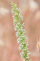 The elegant piperia is an uncommon terrestrial orchid found in scattered locations across the Pacific Northwest at lower elevations, but most often found on rocky outcrops or in open fields mixed with conifers in early to midsummer. This one was photographed high above the Columbia Gorge on the Washington side of the Columbia River.