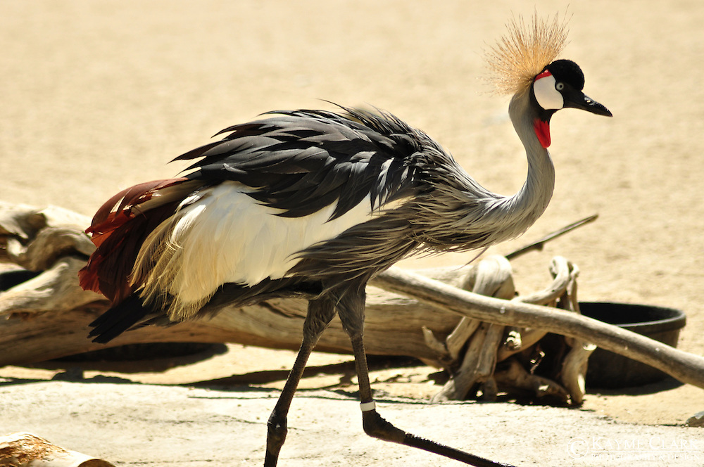 East African Crowned Crane (Grey Crowned Crane) (Balearica regulorum)