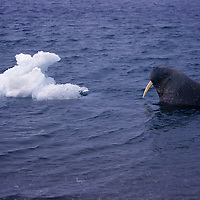 Walrus swimming toward iceberg in the Arctic Ocean near Svalbard.