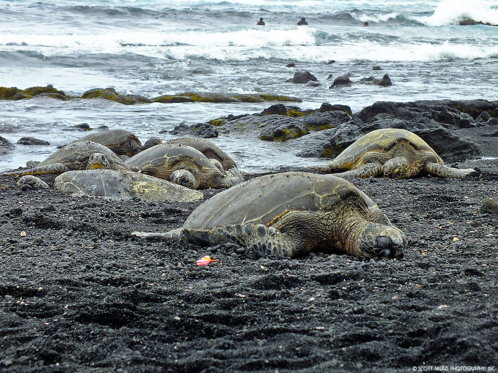 A group of Hawaiian Green Sea Turtles back in the sun after gorging on algae and sea grass at Punaluu Bay, Big Island, Hawaii.