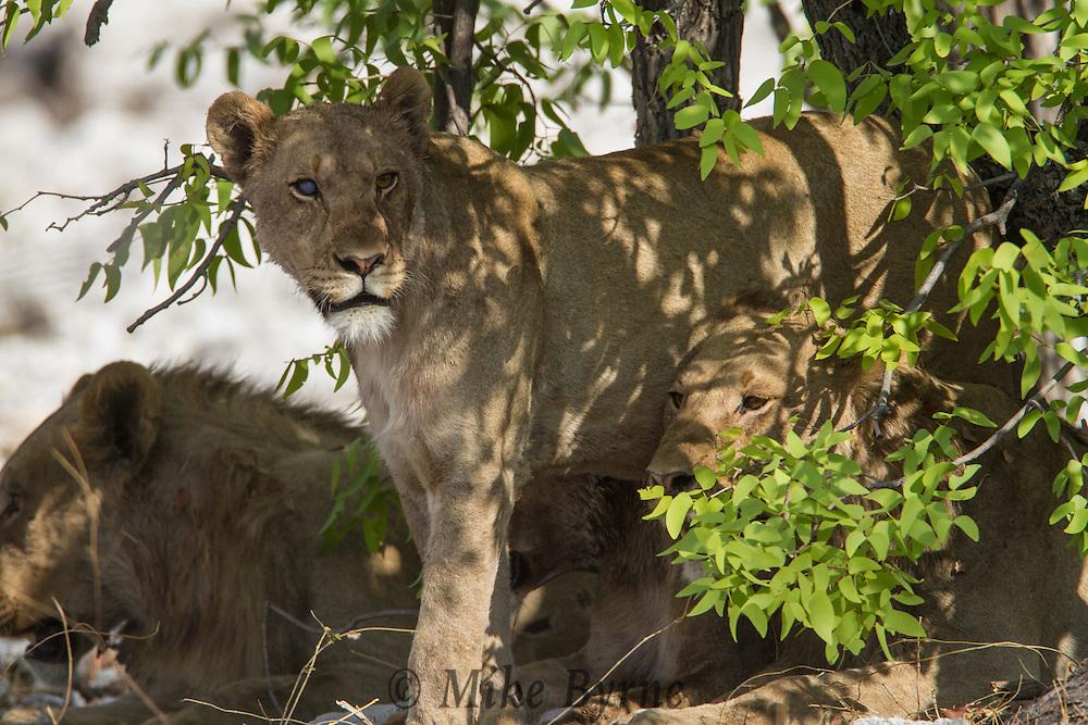 African Lion (Panthera leo) at Etosha National Park,, Namibia.