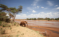 An african elephant on the banks of the Ewaso Nyiro in Kenya