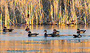 The Golden hour lights the scene for the wood ducks who flocked to the pond for the evening.