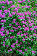 Rhododendron, Deerfield Rd, Sag Harbor, NY